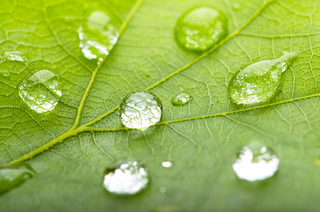 Green leaf of oak with dew