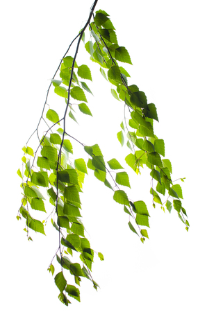 Birch branch with leaves on a white background