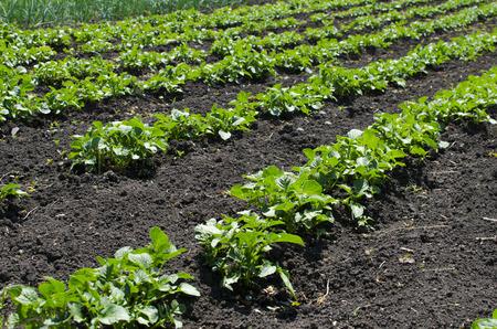diagonal: Beds of ascending potatoes