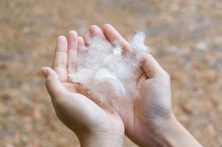 手は、自然光で白のシルク コットンの木の種子を保持します。