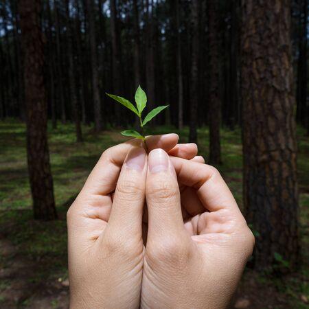 alzando la mano: Manos que sostienen la pequeña planta muestran idea conservadora con el fondo de árbol de pino. Foto de archivo