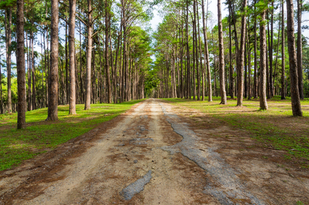 Road in pine tree forest, morning sunrise. show green color leaf and rough texture of tree. with damage asphalt road surface