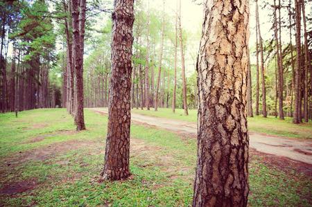 松の森、夜明けの日の出の道。緑色の葉や木の大まかなテクスチャを表示します。損傷アスファルト路面で