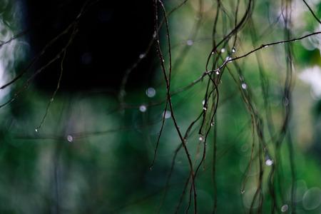 雨の後のシダ植物の根は、露の滴とぼやけて背景を示しています。