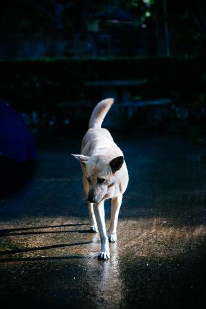 夕方日没からスポット ライトが付いている通りの側を歩いてドッグショーは悲しそうな目。 写真素材