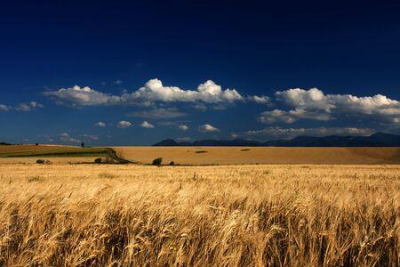 liptov: Gold field in the wind with blue sky
