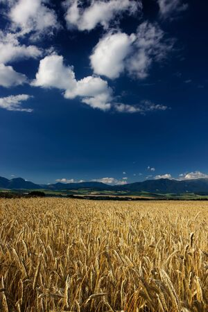 tatry: Wheat field in the wind with blue sky Stock Photo