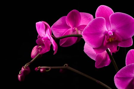 orchidea: Orchidea Phalaenopsis