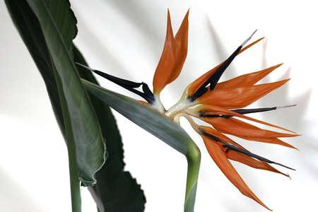 Strelitzia flower on white background photo