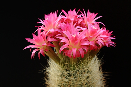 flowering cactus: Cactus with red flowers on a black background