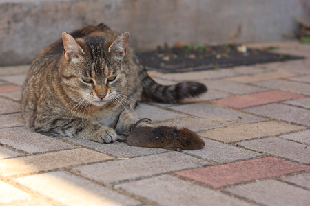 Adult tabby house cat and mouse caught dead photo