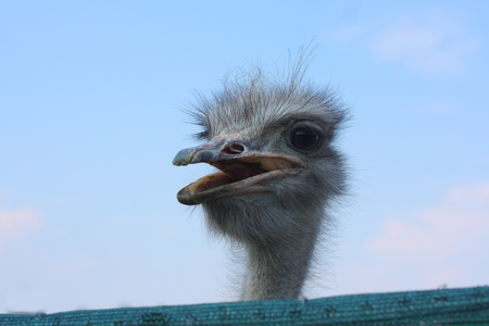 curiousness: Curious Ostrich behind the fence - Promotional photo
