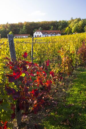 Wineyard and grapes in front of autumn landscape Stock Photo