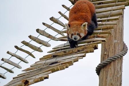 raccoon: A raccoon Stock Photo