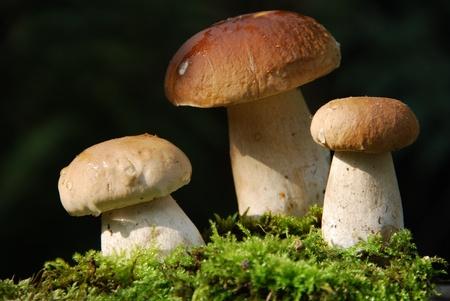 autumn motif: porcini mushrooms Boletus