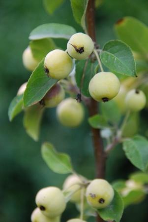 Cherry apple Malus baccata photo