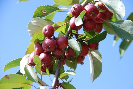 Cherry apple Malus baccata