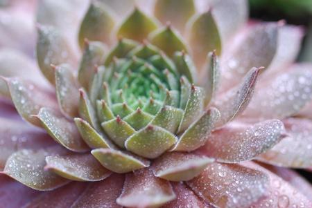 Sempervivum alpinum photo