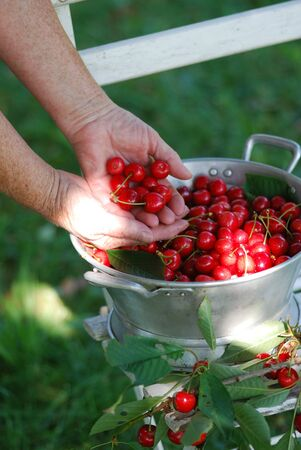 Sour cherry harvest