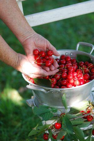 Sour cherry harvest