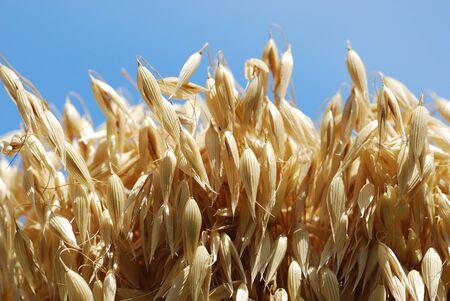 Oat grain oat plant Avena