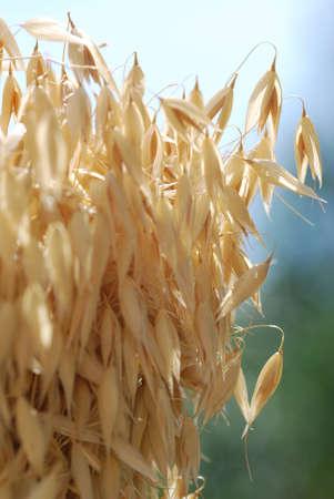 Oat grain oat plant Avena Stock Photo - 12633227