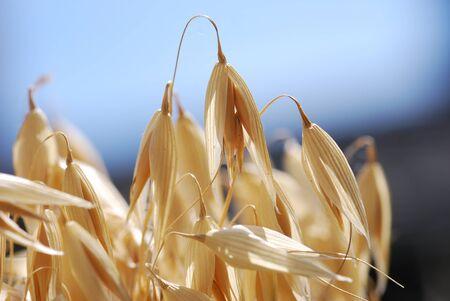 autumn motif: Oat grain oat plant Avena