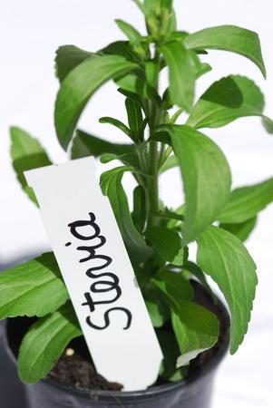 Stevia   Sweet Herb   plant