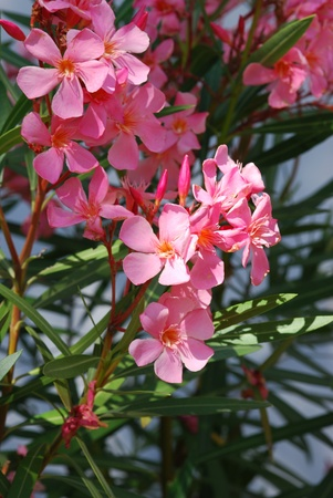 oleander blossom Stock Photo