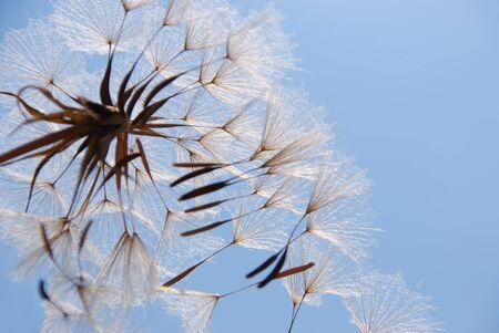 timeless: Balance a dandelion Stock Photo