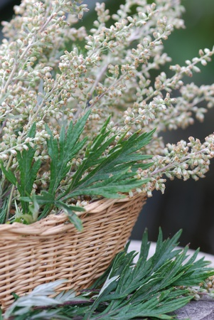 Mugwort plant medicinal plant Stock Photo