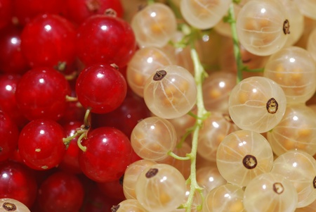 white currants red berries different varieties  photo