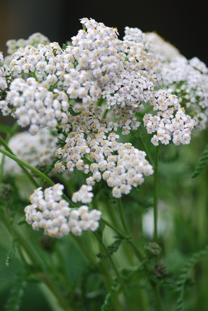 achillea millefolium herb medicine photo