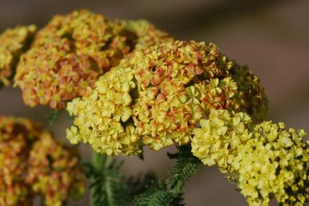 anoint: achillea millefolium herb medicine Stock Photo