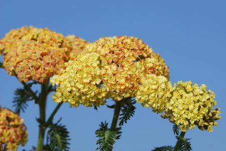 millefolium: achillea millefolium herb medicine Stock Photo