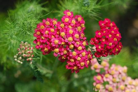 achillea millefolium herb medicine Stock Photo
