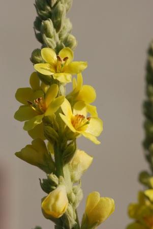 verbascum  medicinal plant photo