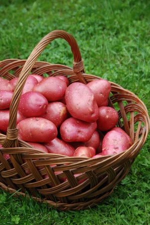 Red potatoes in the basket photo