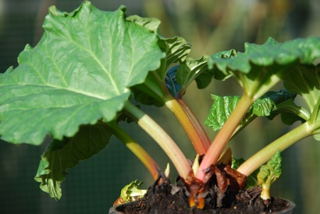 rheum: Common rhubarb Rheum rhabarbarum Stock Photo