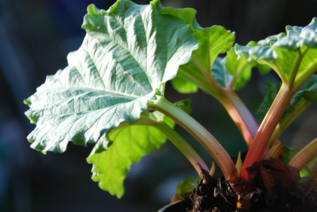 Common rhubarb Rheum rhabarbarum Stock Photo