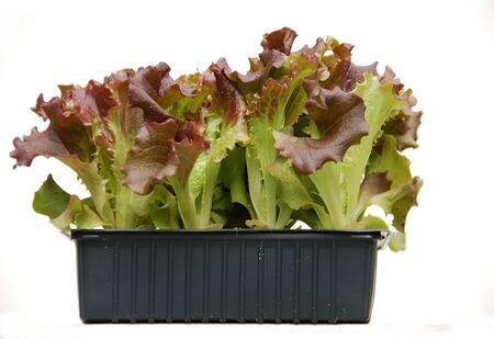 lactuca: Lettuce plant Lactuca