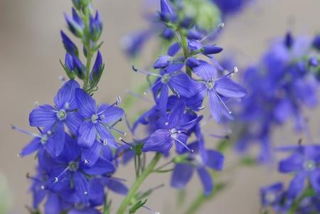 hyssop:  Hyssopus officinalis medicinal plant