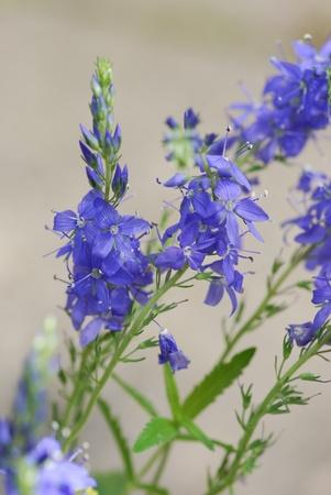 Hyssopus officinalis medicinal plant