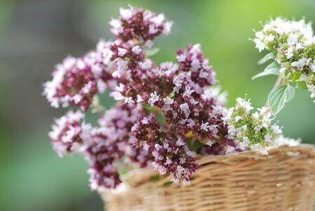 Mejorana Origanum majorana plantas medicinales Foto de archivo - 13681285