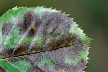 blackspot Diplocarpon rosae