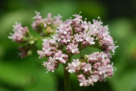 valerian: Valeriana officinalis piante medicinali Archivio Fotografico