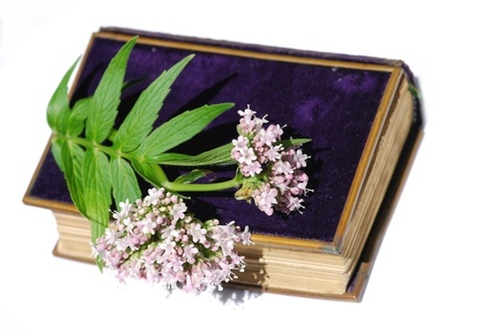 Valerian officinalis plant medicine Stock Photo