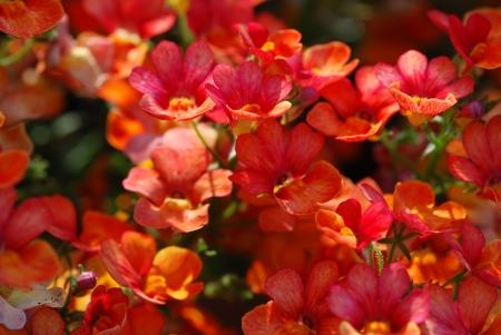wallflower: Wallflower Erysimum cheiri Stock Photo