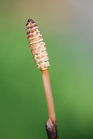 equisetum: horsetail bloom equisetum medicinal plants