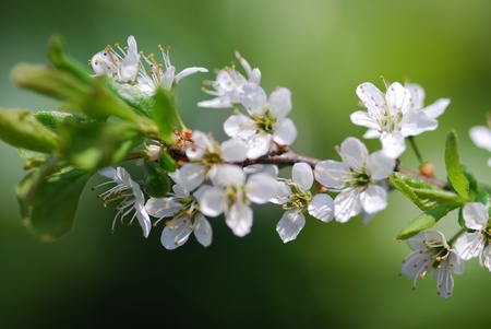 blackthorn blossom prunus spinosa photo